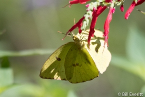 Sulfur Butterfly on Pineapple Sage