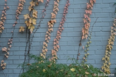 Virginia Creeper with fall color