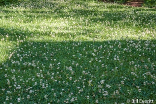 White Clover inter-seeded in lawn