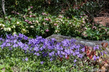 Woodland Phlox and Lenten Roses