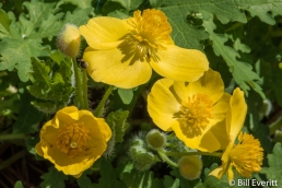 Wood Poppies