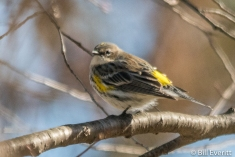 Yellow-rumped Warblerr
