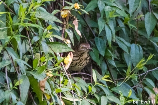 Brown Thrasher nesting in Carolina Jessamine