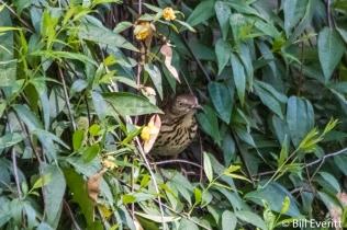 Brown Thrasher nesting in Carolina Jessamine