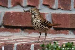 Brown Thrasher with nesting material