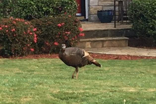 Wild Turkey (photo courtesy of Chris Nilan)