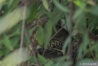 Brown Thrasher in Carolina Jessamine