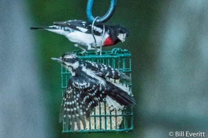 Rose-breasted Grosbeak and Downy Woodpecker